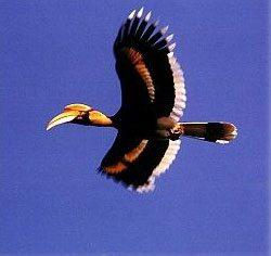 hornbill andaman islands